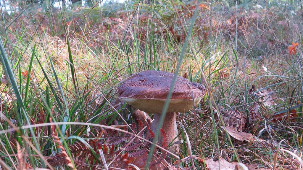 les champignons au coin gascon